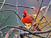 "<div class=""jaDesc""> <h4> Immature Cardinal - October 24, 2011 </h4> <p> This is the first time I have seen this year's immature male Cardinal. Notice that his beak still has a bit of black in it which will disappear as he matures.</p> </div>"