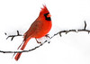 "<div class=""jaDesc""> <h4> Male Cardinal on Snowy Pear Tree Branch - November 16, 2007 </h4> <p> This male Cardinal was posing nicely on a snowy pear tree branch in the middle of a snow storm.</p> </div>"