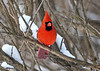 "<div class=""jaDesc""> <h4>Male Cardinal in Dense Thicket - January 1, 2018</h4> <p>With the Sharp-shinned Hawk making runs on our feeder area, the male Cardinal is not taking any chances.  I toss seed under this bush so he does not have to come out in the open.</p> </div>"