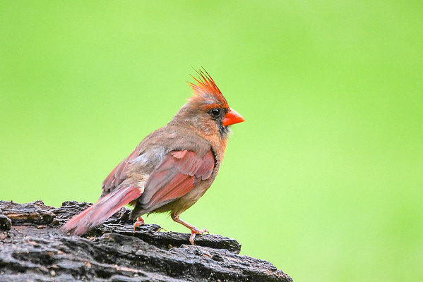 "<div class=""jaDesc""> <h4>Female Cardinal Looking Refreshed - June 28, 2018</h4> <p>After about 5 minutes of intense grooming, she had her natural beauty back. </p> </div>"