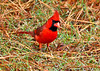 "<div class=""jaDesc""> <h4>Male Cardinal Ground Feeding - November 7, 2013 </h4> <p>This time of year, Cardinals tend to flock up and hang out in roadside hedgerows that provide protective cover.  This was one of 10 male Cardinals ground feeding along a rural roadside hedgerow.</p> </div>"
