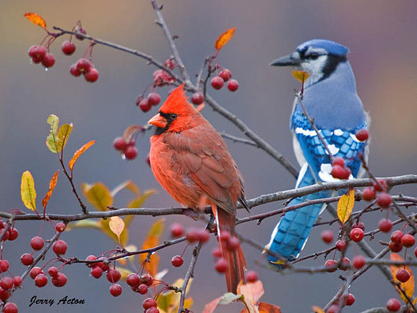 "<div class=""jaDesc""> <h4>Cardinal & Blue Jay - Dominance Established - October 17, 2009 </h4> <p>  After several low passes at this male Cardinal who would not budge, the Blue Jay had to settle for a back row branch.</p> </div>"