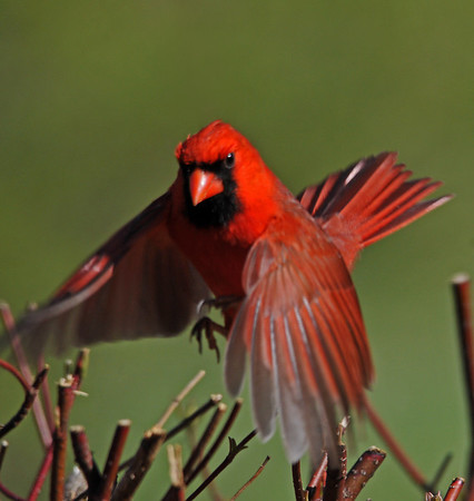 "<div class=""jaDesc""> <h4>Male Cardinal Take-off - May 11, 2014 </h4> <p>This was supposed to be a shot of him perched, but he surprised me with a quick take-off.</p> </div>"