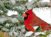 "<div class=""jaDesc""> <h4> Male Cardinal Snowy Spruce Tree - February 19, 2011 </h4> <p> The male Cardinal stays hidden on the back side of this spruce tree when he visits. I toss sunflower seeds in there to encourage him to stay safely out of view of any lingering hawks.</p> </div>"