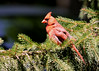 "<div class=""jaDesc""> <h4>Male Cardinal in Spruce Tree - July 6, 2014 </h4> <p>A pair of Cardinals were moving among bushes and trees at the edge  of a cemetery.  Usually they stayed in the shadows and hidden, but a few times the male popped out into the open.</p> </div>"