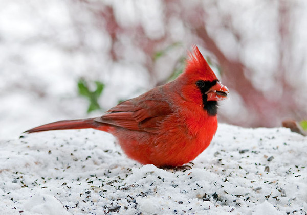 "<div class=""jaDesc""> <h4>Male Cardinal Ground Feeding in Snow - January 16, 2012 </h4> <p> It is always nice to see the bright male Cardinal arrive after a snowfall.  This guy was looking more fluffed than normal to stay warm on a chilly morning.</p> </div>"