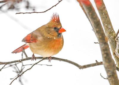 Female Cardinal in Winterberry Bush - Jan 18, 2020