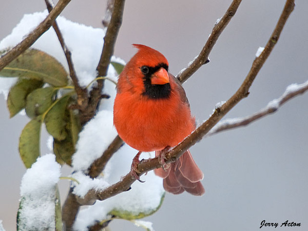 """<div class=""""jaDesc""""> <h4>Dad Cardinal Joins His Two Sons - October 16, 2009 </h4> <p>  Dad Cardinal comes in regularly with his 2 sons.  Here he is in a snow covered pear tree getting ready to join one of his sons at a feeder.</p> </div>"""