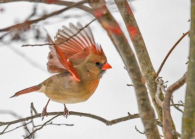 Eemale Cardinal - Wings Up - Jan 18, 2020
