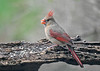 "<div class=""jaDesc""> <h4>Female Cardinal with Safflower Seed - April 24, 2019</h4> <p>This is one of two female Cardinal hanging out in our yard.  They have had a few territory squabbles. </p> </div>"