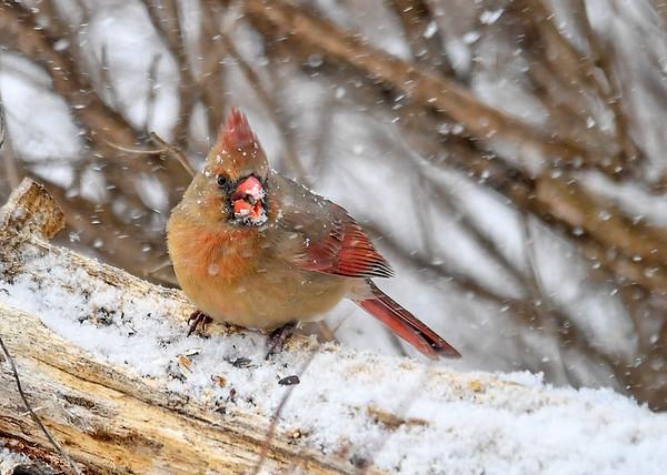 "<div class=""jaDesc""> <h4>Female Cardinal with Snowy Beak - December 9, 2016</h4> <p>Mrs. Cardinal kept returning to the same perch for sunflower seeds as the snowfall got heavier.</p> </div>"