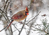 "<div class=""jaDesc""> <h4>Female Cardinal in Snow Storm - February 4, 2018</h4> <p>She was scanning the snow covered ground for sunflower seeds.</p> </div>"