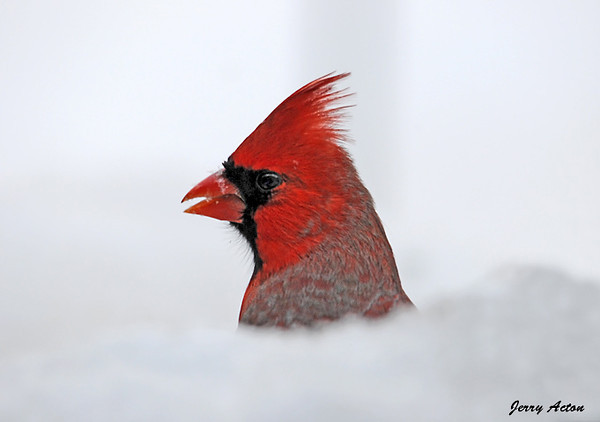 "<div class=""jaDesc""> <h4>Male Cardinal Playing Peek-a-Boo - January 5, 2010 </h4> <p>  This male Cardinal was behind a pile of snow.  He kept quickly raising and lowering his head as I was trying to get a shot.</p> </div>"