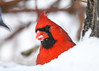 "<div class=""jaDesc""> <h4>Male Cardinal Finds Safflower Seed - December 14, 2017</h4> <p>The male Cardinal managed to find this Safflower seed under about 6 inches of snow.</p> </div>"