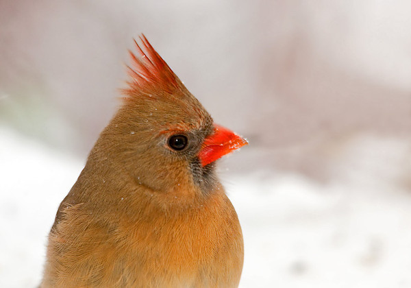 """<div class=""""jaDesc""""> <h4>Female Cardinal Close-up - January 8, 2012 </h4> <p> The female Cardinal is less shy and comes in very close sometimes. She gave me a nice perky look the other day.</p> </div>"""