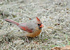 "<div class=""jaDesc""> <h4>Female Cardinal Close-up - May 14, 2016</h4> <p>The Cardinals are very easily spooked.  The slightest motion sends them scurrying for cover.  I managed to stay very still as this female approached me while ground feeding.</p> </div>"