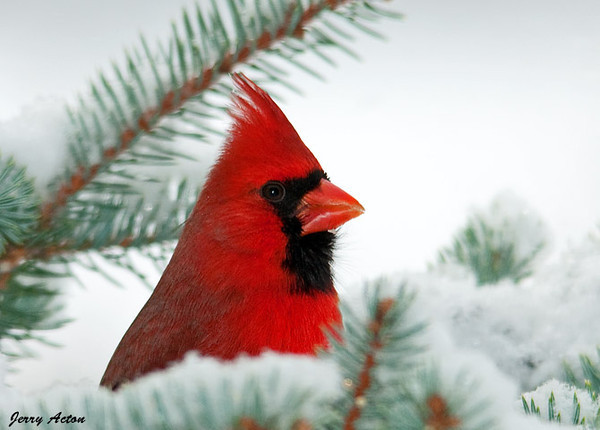 """<div class=""""jaDesc""""> <h4>Male Cardinal in Christmas Tree - January 12, 2010 </h4> <p>  Our Christmas tree continues to be quite popular.  A male Cardinal was enjoying some of the black-oiled sunflower seed that I spread on the snowy branches.</p> </div>"""
