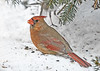 <h4>Female Cardinal Feeding in Snow - January 30, 2019</h4> <p>She and the winning male are a pair.  They visit our yard all day long. </p>