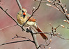 "<div class=""jaDesc""> <h4>Female Cardinal in Budding Serviceberry Tree - April 18, 2014 </h4> <p>The Cardinal pair have been very elusive so far this Spring.  I finally managed to get the female as she was looking down where she wanted to ground feed.</p> </div>"