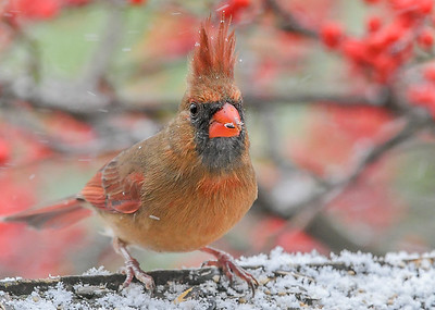 Female Cardinal with Blowing Crest #2 - December 16, 2020 The blowing snow shifted to directly behind her crest.