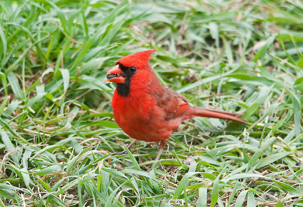 "<div class=""jaDesc""> <h4>Male Cardinal Ready to Pass Seed - April 26, 2012 </h4> <p>This is Cardinal courtship time when the male Cardinal hops over to the female and feeds her a seed.  Here he is waiting for her to arrive.  Cardinals mate for life. </p> </div>"