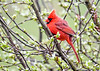 "<div class=""jaDesc""> <h4>Male Cardinal Crest Up - May 4, 2020</h4> <p></p> </div>"