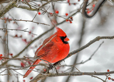 Male Cardinal in Winterberry Bush - Jan 18, 2020 Cardinals are very careful to approach the feeder area by coming in through the lower branches of the bushes.  We have a Sharp-shinned Hawk that periodically makes high speed passes through the feeder areas.