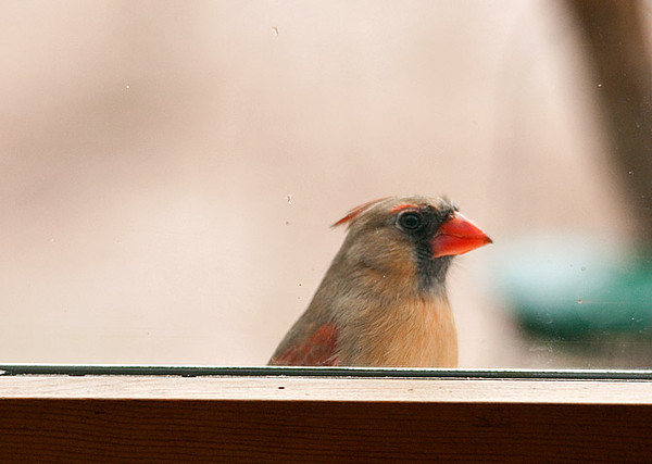 """<div class=""""jaDesc""""> <h4>Female Cardinal Flying at Window - March 25, 2010 </h4> <p>  This time every year the female Cardinal taps at the windows and flies at her reflection.  She thinks her reflection is another female and wants to chase the intruder out of her territory.  She is also tapping on the back window of my truck and on the rear view mirrors.  Poor gal sees intruders everywhere.</p> </div>"""