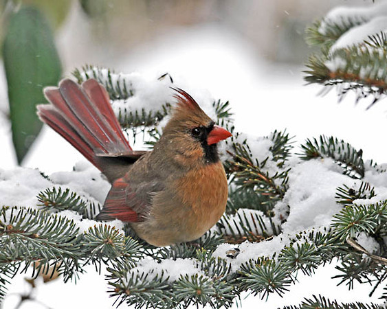 "<div class=""jaDesc""> <h4> Female Cardinal on Snowy Spruce Limb - December 24, 2010 </h4> <p> Our female Cardinal spends a lot of time in our spruce tree looking for the seed I toss on the branches. Today she was in the open making it easy for me to get her photo, a nice Christmas present.</p> </div>"