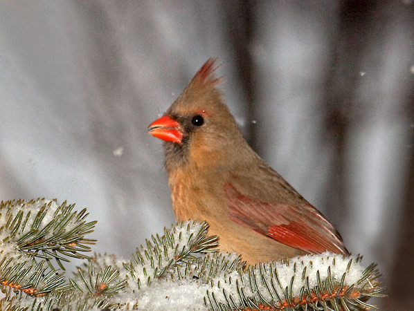 """<div class=""""jaDesc""""> <h4> Female Cardinal in Blowing Snow - February 19, 2011 </h4> <p> This gal popped up for a few seconds to get her photo taken. She has been staying hidden lately with the Sharp-shinned Hawk around.</p> </div>"""