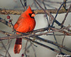 "<div class=""jaDesc""> <h4>Male Cardinal in Morning Sun - December 16, 2009 </h4> <p>  It was a bitter cold morning, but this male Northern Cardinal was soaking up the warmth of the morning sun.</p> </div>"