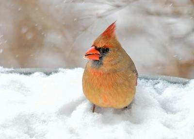 Female Cardinal on Snow Covered Bird Bath - Jan 18, 2020