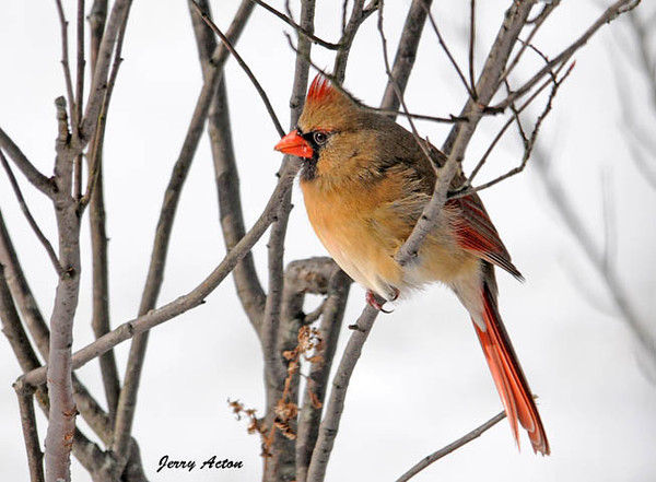 """<div class=""""jaDesc""""> <h4>Female Cardinal in High Wind - December 30, 2009 </h4> <p>  We had awful weather today - 10 degrees and 30MPH winds.  This female Cardinal was even trying to do a bit of grooming while braving the wind.</p> </div>"""