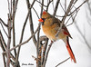 "<div class=""jaDesc""> <h4>Female Cardinal in High Wind - December 30, 2009 </h4> <p>  We had awful weather today - 10 degrees and 30MPH winds.  This female Cardinal was even trying to do a bit of grooming while braving the wind.</p> </div>"