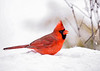 "<div class=""jaDesc""> <h4>Male Cardinal on Snow Covered Bird Bath - Jan 18, 2020</h4> <p></p> </div>"