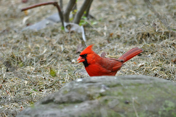 "<div class=""jaDesc""> <h4>Male Cardinal Ground Feeding - May 14, 2016</h4> <p>The male and female Cardinal always come in to feed at the same time during courtship.  They are usually within 10 feet of each other while feeding.</p> </div>"