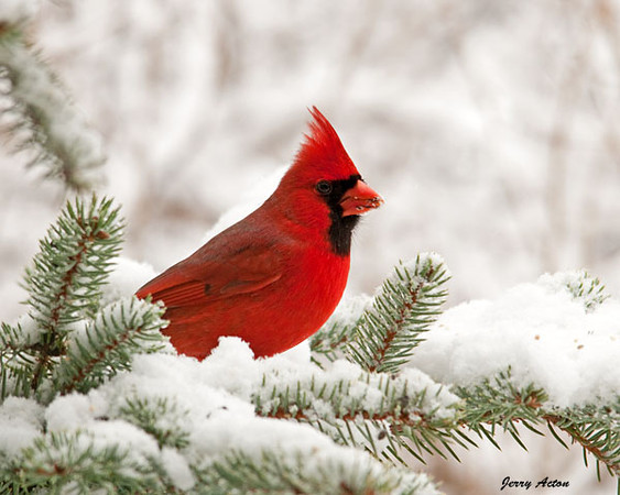 """<div class=""""jaDesc""""> <h4>Male Cardinal Munching - February 24, 2010 </h4> <p>  Our dominant male Northern Cardinal has decided our used Christmas tree is a nice place to munch on sunflower seeds.  He stops in multiple times a day  along with the female.  She stays more hidden in the middle of the tree while he frequently comes out on a branch.</p> </div>"""