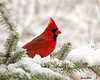 "<div class=""jaDesc""> <h4>Male Cardinal Munching - February 24, 2010 </h4> <p>  Our dominant male Northern Cardinal has decided our used Christmas tree is a nice place to munch on sunflower seeds.  He stops in multiple times a day  along with the female.  She stays more hidden in the middle of the tree while he frequently comes out on a branch.</p> </div>"