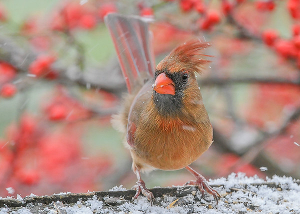 """<div class=""""jaDesc""""> <h4>Female Cardinal with Blowing Crest #1 - December 16, 2020</h4> <p>We have two female Cardinals this winter.  The blowing snow was bending her crest.</p> </div>"""