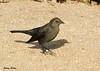 "<div class=""jaDesc""> <h4> Female Brewer's Blackbird - November 9, 2009</h4> <p> This is the female Brewer's Blackbird that was hanging out with the male along the rocky Monterey Bay coastline.</p> </div>"