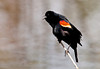 "<div class=""jaDesc""> <h4>Male Red-winged Blackbird Guarding Nest Site - May 12, 2011</h4> <p>  Along one side of a 200 foot long pond, 6 Red-winged Blackbird pairs have divided up the space into roughly 30 foot patches of cattails. The males screech loudly all day long to ensure that their patch is defended against encroachment by neighboring males. The females seem to be better behaved and are focused on nest site selection and grooming.</p> </div>"