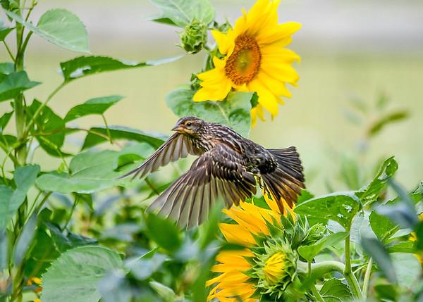 "<div class=""jaDesc""> <h4>Female Red-winged Blackbird Off to the Birdbath - August 7, 2017</h4> <p> </p></div>"