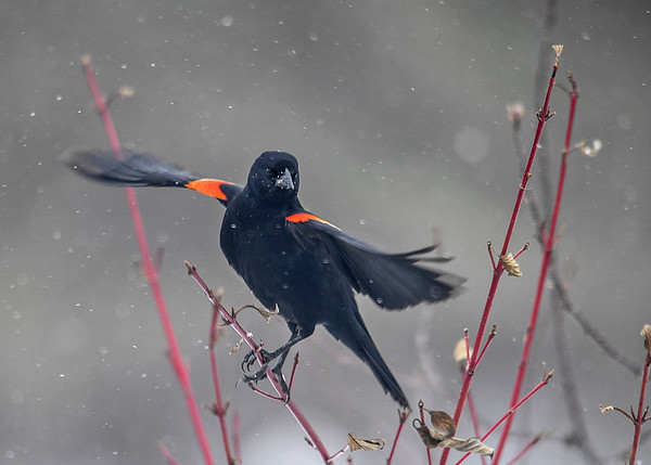 """<div class=""""jaDesc""""> <h4>Male Red-winged Blackbird Taking Flight - March 11, 2017</h4> <p>I managed to catch this male Red-winged Blackbird as he spread his wings for take-off.</p></div>"""