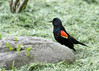 "<div class=""jaDesc""> <h4>Male Red-winged Blackbird Warning - May 2, 2017</h4> <p>Whenever another bird would get near this male Red-winged Blackbird, he would flare his red wing feathers.</p></div>"