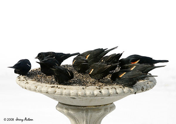 "<div class=""jaDesc""> <h4>Red-winged Blackbird Party - March 9, 2008 </h4> <p>Large flocks of Red-winged Blackbirds are stopping by to tank up on seed before continuing their journey north.</p> </div>"