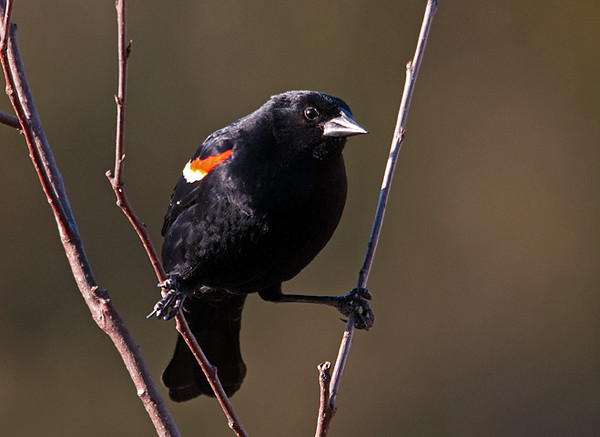 "<div class=""jaDesc""> <h4>Male Red-winged Blackbird Straddling Branches - March 19, 2010</h4> <p>  The Red-winged Blackbirds are very agile as this guy is demonstrating.</p> </div>"