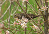 "<div class=""jaDesc""> <h4>Female Red-winged Blackbird in Serviceberry Tree - April 26, 2009</h4> <p>  Our serviceberry trees are in bloom.  This female Red-winged Blackbird likes one of them as her approach tree to the feeder area.</p> </div>"
