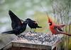 "<div class=""jaDesc""> <h4>Cardinal Arriving - April 10, 2020</h4> <p>Despite the Red-wing fussing, the Cardinal lands anyway. </p></div>"