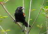 "<div class=""jaDesc""> <h4>Male Red-winged Blackbird in Cherry Tree - July 25, 2010</h4> <p>  This Red-winged Blackbird visitor was part of a group that is flocking up early this year to head south. Normally they stick around until mid-September.</p> </div>"