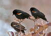 "<div class=""jaDesc""> <h4>Male Red-winged Blackbirds - 1st of Year - March 7, 2011</h4> <p>  Yesterday we had about 50 blackbirds arrive. Most of them were Red-winged Blackbirds, but there were a few Grackles and Brown-headed Cowbirds. Today the flock had grown to over 100 birds. They hung around all day devouring all the seed that I put out.</p> </div>"
